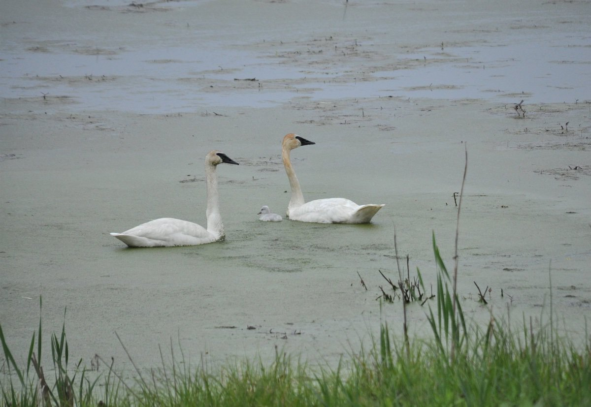 swans at rustic gate with baby